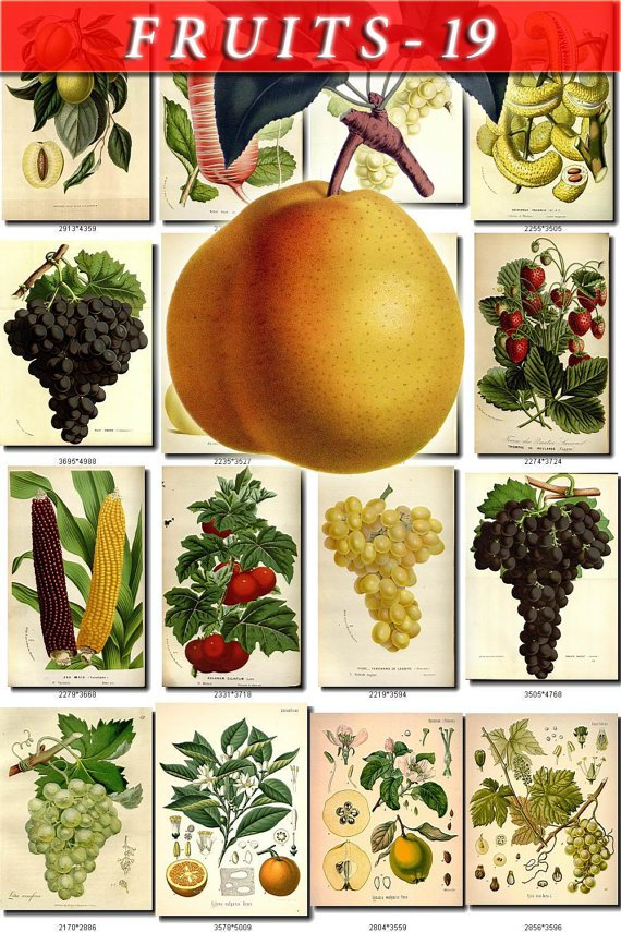 FRUITS VEGETABLES-19 192 vintage print