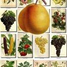 FRUITS VEGETABLES-19 192 vintage print