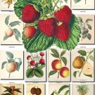 FRUITS VEGETABLES-20 145 vintage print
