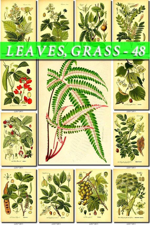 LEAVES GRASS-48 171 vintage print