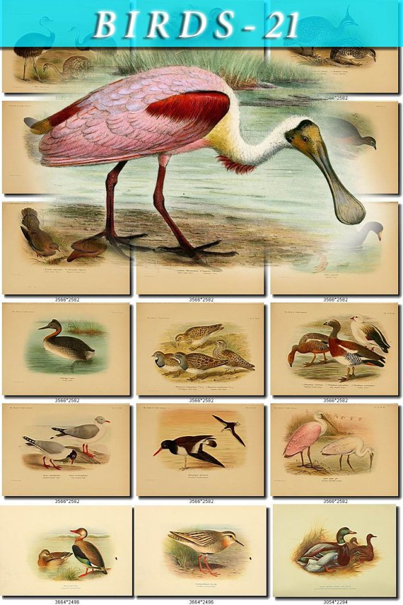 BIRDS-21 204 vintage print