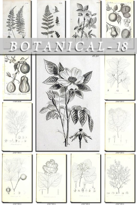 BOTANICAL-18-bw 224 black-, -white vintage print