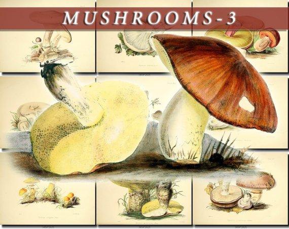 MUSHROOMS-3 50 vintage print