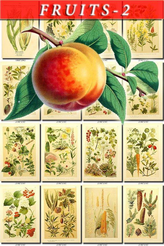 FRUITS VEGETABLES-2 121 vintage print