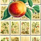 FRUITS VEGETABLES-2 121 vintage print