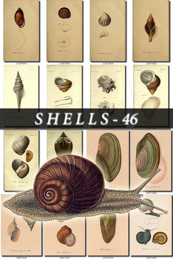 SHELLS-46 300 vintage print