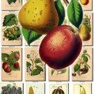 FRUITS VEGETABLES-11 50 vintage print