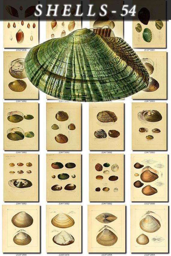 SHELLS-54 266 vintage print
