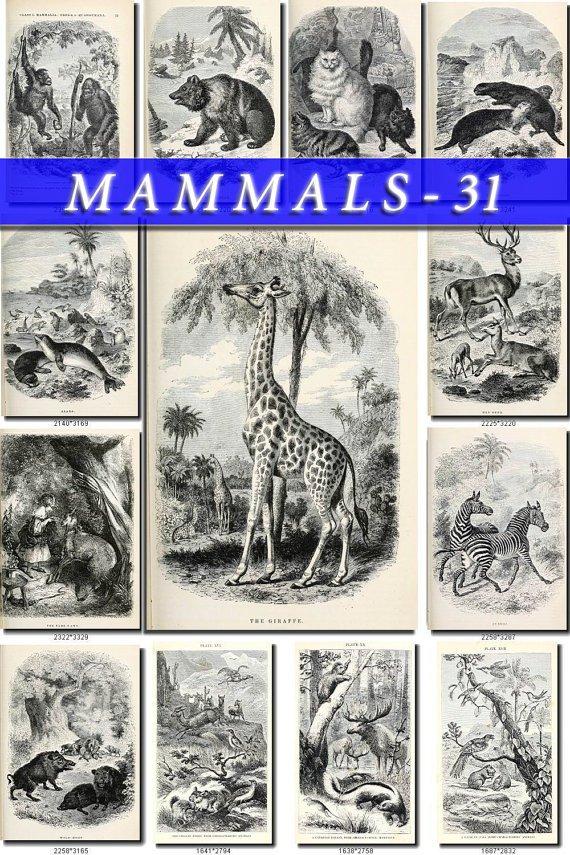 MAMMALS-31-bw 169 black-, -white vintage print