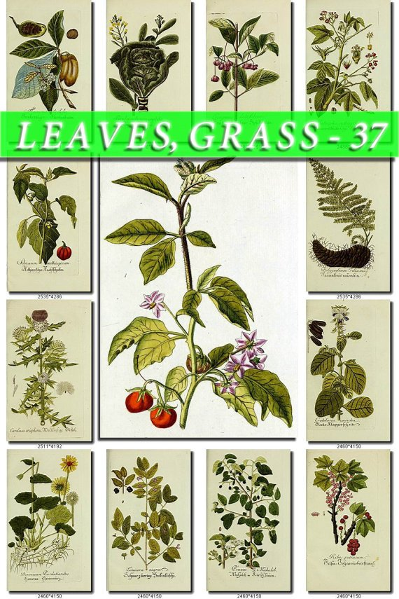 LEAVES GRASS-37 216 vintage print