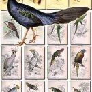 BIRDS-132 71 Chicken Cassowary Woodpecker Maccaw Parakeet Parrots vintage print