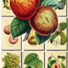 FRUITS VEGETABLES-9 50 vintage print