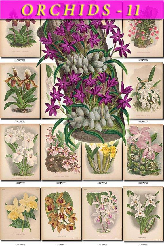 ORCHIDS-11 flowers 65 vintage print