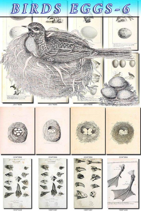 BIRDS EGGS-6-bw 242 black-, -white nests heads vintage print