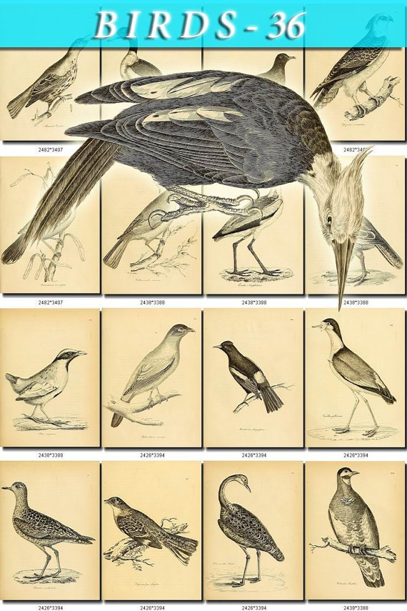 BIRDS-36-bw 207 black-, -white vintage print