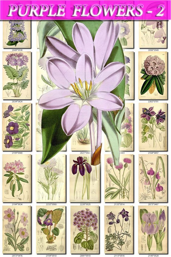 PURPLE-2 FLOWERS 210 vintage print