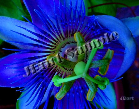 Blue Passion Flower in Full Bloom - Original 8x10 Photographic Print by JBURTPHOTOS