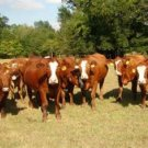 Leach Enterprises has Cattle for Sale Online