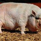 Leach Enterprises has Hogs for Sale Online