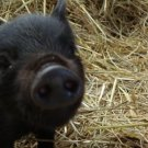 Leach Enterprises has Pigs for Sale Online