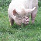 Leach Enterprises has an Adult Pig for Sale Online