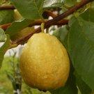 Florida Pear Guava 10 seeds