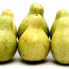 HEIRLOOM NON GMO Egyptian Guava 10 seeds