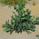 HEIRLOOM NON GMO Wild Lettuce 10 seeds