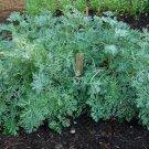 HEIRLOOM NON GMO Wormwood 100 seeds
