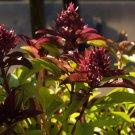 HEIRLOOM NON GMO Anise Basil 100 seeds