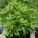 HEIRLOOM NON GMO Bush Basil 100 seeds