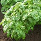 HEIRLOOM NON GMO Ceaser Basil 100 seeds