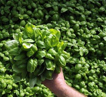 HEIRLOOM NON GMO Di Genova Basil 100 seeds