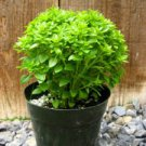 HEIRLOOM NON GMO Dwarf Fine Bush Basil 100 seeds
