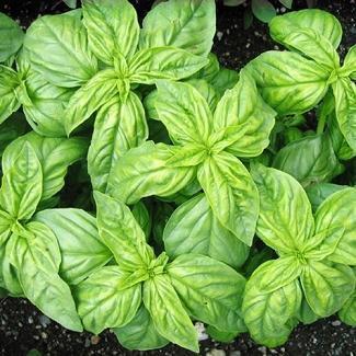 HEIRLOOM NON GMO Edwina Basil 100 seeds