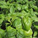 HEIRLOOM NON GMO Envigor Basil 100 seeds