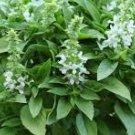 HEIRLOOM NON GMO  White Spires Basil 100 seeds