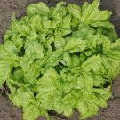 HEIRLOOM NON GMO Lettuce Leaf Basil 100 seeds