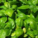 HEIRLOOM NON GMO Genovese Pesto Basil 100 seeds