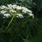 HEIRLOOM NON GMO Anise (Pimpinella anisum)100 seeds