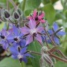 HEIRLOOM NON GMO Blue Borage 25 seeds