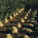 HEIRLOOM NON GMO Root Celery 100 seeds
