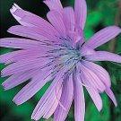 HEIRLOOM NON GMO Chicory (Cichorium intybus) 500 seeds