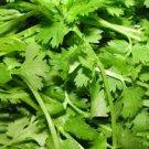 HEIRLOOM NON GMO Leaf Cilantro 100 seeds