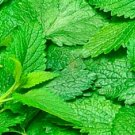 HEIRLOOM NON GMO Citronella Balm25 seeds