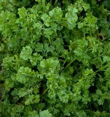 HEIRLOOM NON GMO Wrinkled Cress 200 seeds