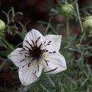 HEIRLOOM NON GMO Black Cumin 100 seeds