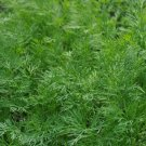 HEIRLOOM NON GMO Dukat Dill 100 seeds