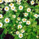 HEIRLOOM NON GMO Feverfew 100 seeds