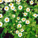 HEIRLOOM NON GMO Feverfew 100 seeds